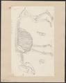 Tapirus spec. - skelet - 1700-1880 - Print - Iconographia Zoologica - Special Collections University of Amsterdam - UBA01 IZ22000301.tif