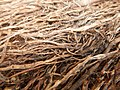 Tapis de racines de platane sous trottoir Platanus root mat under sidewalk Lille northern France 04.jpg