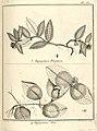 Tapogomea 3. purpurea 4. alba Aublet 1775 pl 62.jpg
