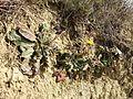 Taraxacum serotinum sl79.jpg