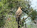 Tawny eagle (393893466).jpg