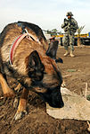 Team Chukky Detects Terrorism in Iraq DVIDS218520.jpg