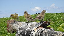 Telespiza cantans -Laysan, Northwestern Hawaiian Islands, USA -three-8.jpg