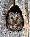 Tengmalm's owl (Aegolius funereus).jpg
