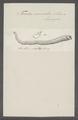 Teredo navalis - - Print - Iconographia Zoologica - Special Collections University of Amsterdam - UBAINV0274 080 02 0002.tif