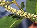Terminalia elliptica - Indian Laurel flowers at Nedumpoil (36).jpg