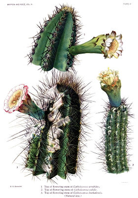 The Cactaceae Vol II, plate VI filtered.jpg