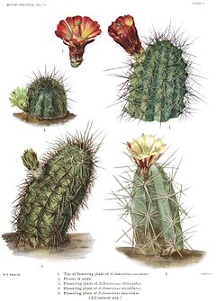 The Cactaceae Vol III, plate II.jpg