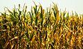 The Golden Crop.jpg