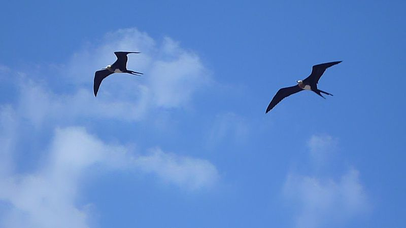 پرونده:The Magnificent Frigatebird (Fregata magnificens) North Seymour Island Galapagos.JPG