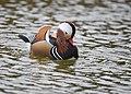 The Mandarin Duck of St. Ferdinand Park (30827725897).jpg