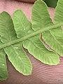 Thelypteris palustris inat1.jpg