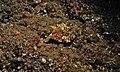 Thornback Cowfish (Lactoria fornasini) (6065528878).jpg