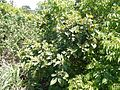 Thorny Yellow Wood (14576617841).jpg
