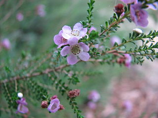 <i>Thryptomene baeckeacea</i> species of plant