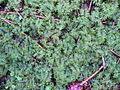 Thuidium tamariscinum 001.jpg