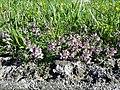 Thymus odoratissimus sl39.jpg