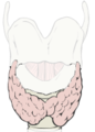 Thyroid For Insertion.png