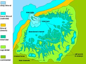 Mudflat - General sketch-map of a tidal plain, showing the typical tripartition in supratidal, intertidal and subtidal zones. The most apparent character of the area is the development of tidal channels, affecting mainly the intertidal zone. In this case, the tidal flat is protected seaward by a beach barrier, but in many cases (low-energy waves and longshore currents) the tidal flats may directly pass into a shallow marine environment.