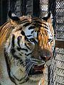 Tiger (AP4N1195 1) (20859957509).jpg