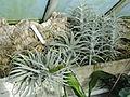 Tillandsia streptophylla - Lyman Plant House, Smith College - DSC04226.JPG