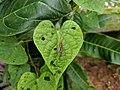 Tipulidae 4.jpg