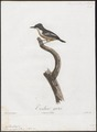 Todirostrum griseum - 1805 - Print - Iconographia Zoologica - Special Collections University of Amsterdam - UBA01 IZ16500271.tif