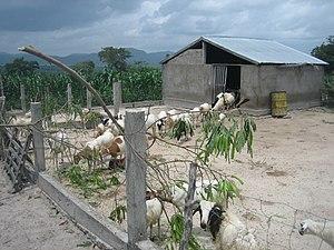 Italiano: Un piccolo allevamento di capre.