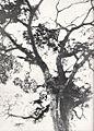 Top trunk of a Kalungi, Belgian Congo.jpg