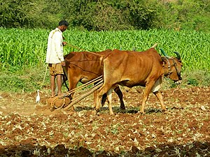 History of agriculture - An Indian farmer with a rock-weighted scratch plough pulled by two oxen. Similar ploughs were used throughout antiquity.