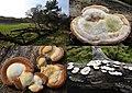 Trametes hirsuta (Hairy Bracket, D= Striegelige Tramete, F= Tramète hirsute, NL= Ruig elfenbankje) white spores and causes white rot, at NP Hoge Veluwe - panoramio.jpg