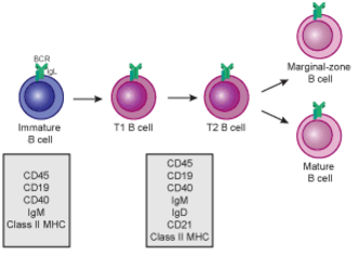 B cell - Transitional B cell development: from immature B cell to MZ B cell or mature (FO) B cell