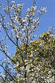Tree 0469 (9797839445) (2).jpg