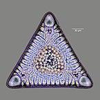 Triceratium morlandii var. morlandii.jpg