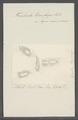 Trichoda transfuga - - Print - Iconographia Zoologica - Special Collections University of Amsterdam - UBAINV0274 113 15 0012.tif