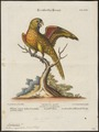 Trichoglossus capistratus - 1700-1880 - Print - Iconographia Zoologica - Special Collections University of Amsterdam - UBA01 IZ18500223.tif