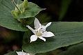 Tricyrtis hirta 'Alba' - Fleur.jpg
