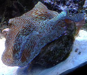 Southern giant clam - Tridacna derasa in a reef aquarium.