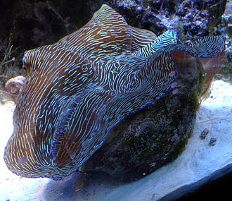 Southern giant clam - Tridacna derasa in a reef aquarium.
