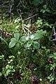 Trientalis arctica (Primulaceae) (36144251596).jpg
