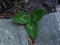 Trifolium.png