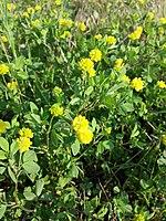 Trifolium campestre sl1.jpg