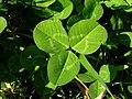 Trifolium repens leaf2 (10733725596).jpg