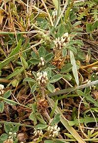 Trifolium scabrum1