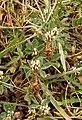 Trifolium scabrum1.jpg