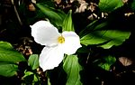 Trillium with the leaves.jpg