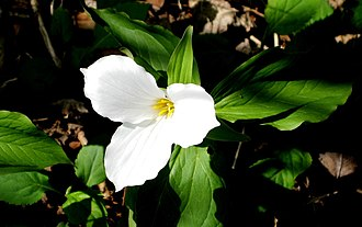 Trillium - Image: Trillium with the leaves