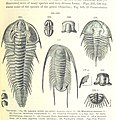 Trilobites - From page 483 of Manual of Geology by James Dwight Dana - Date of Publishing 1895 - British Library.jpg