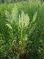 Trisetum flavescens subsp. flavescens sl8.jpg