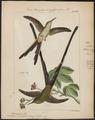 Trochilus amaryllis - 1820-1860 - Print - Iconographia Zoologica - Special Collections University of Amsterdam - UBA01 IZ19100395.tif